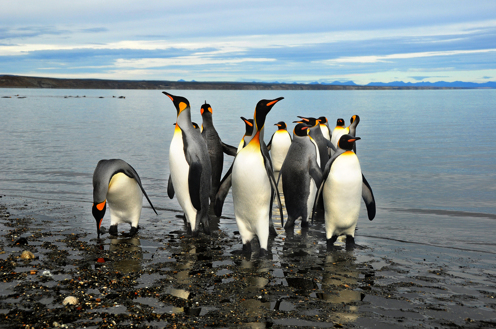 TDF-Group-of-King-Penguins-on-Beach-5-8-2020