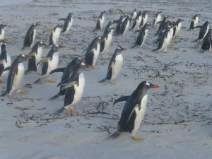 TDF-Penguins-Running-Beach