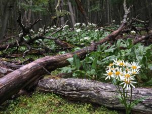 TDF-Daises-In-Forest-6-23-20