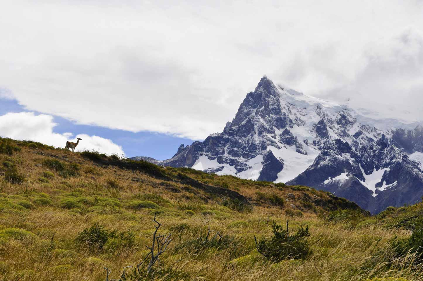 TDF-Guanaco-In-Grass-In-Front-Of-Mountain-5-11-20
