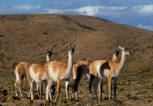 TDF-Guanacos-On-Hill-6-23-20