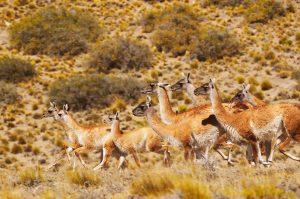 TDF-Herd-Of-Guanacos-6-23-20