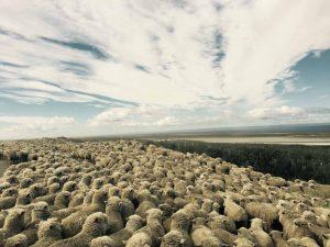 TDF-Herd-Of-Sheep-6-25-20