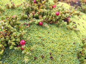 TDF-Plants-With-Berries-6-23-20