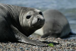 TDF-Seal-On-Rocky-Beach-6-23-20