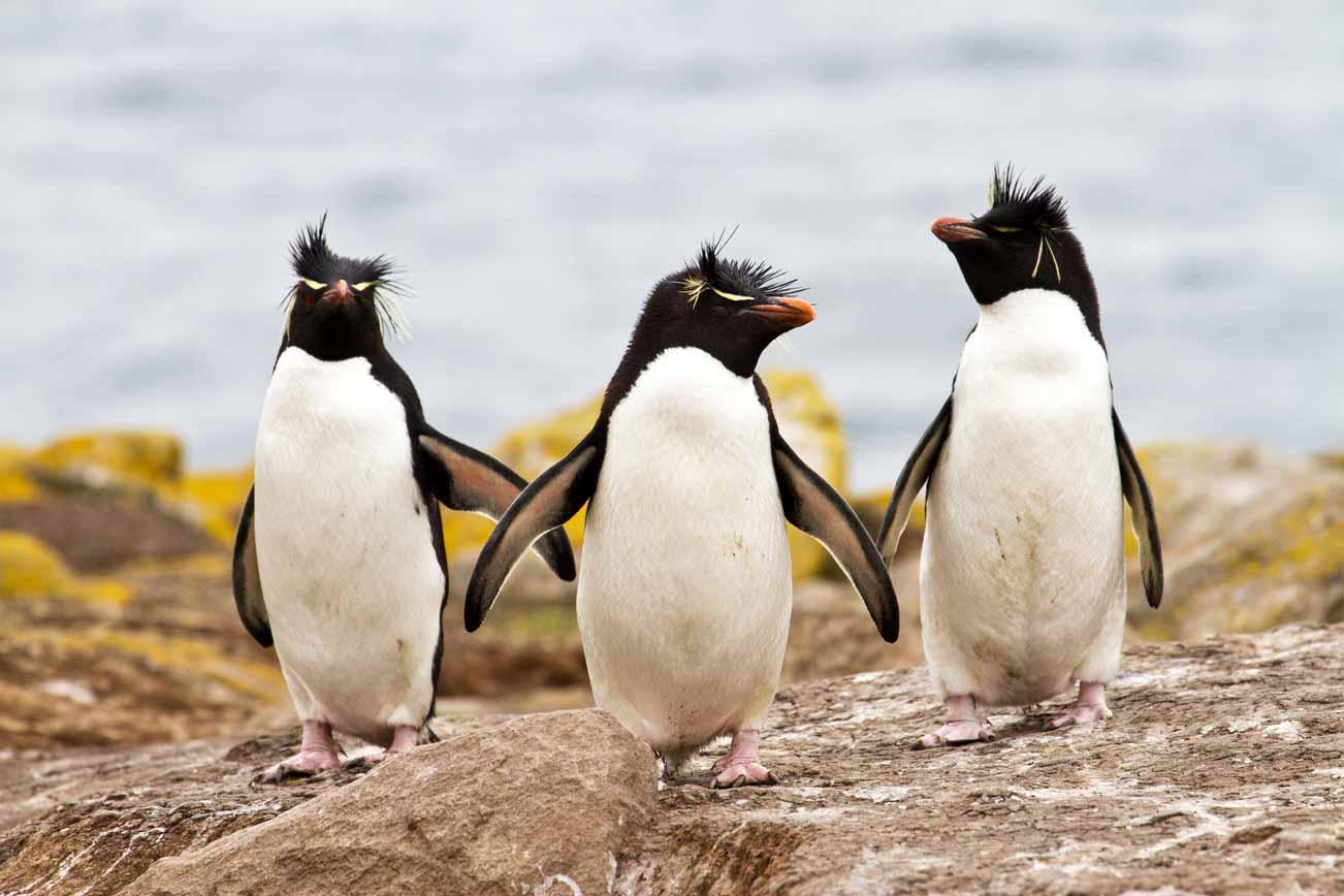 TDF-Three-Rockhopper-Penguins-6-23-20