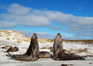 TDF-Two-Elephant-Seals-Upright-6-23-20--