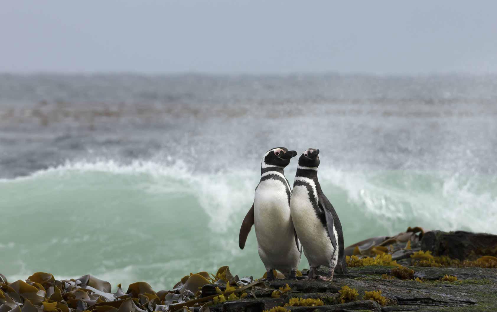 TDF-Two-Penguins-Rocky-Shore-6-23-20