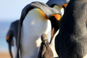 TDF-King-Penguin-With-Chick-6-23-20